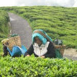 darjeeling_tea_workers